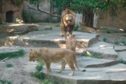 Lions in Shanghai Zoo