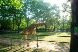A giraffe in Shanghai Zoo